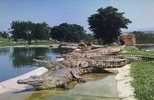 crocodile-sleeping